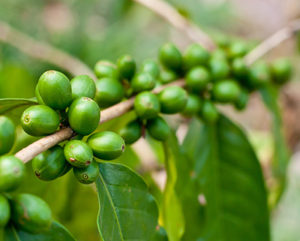 Premium Green Coffee Bean - Formula